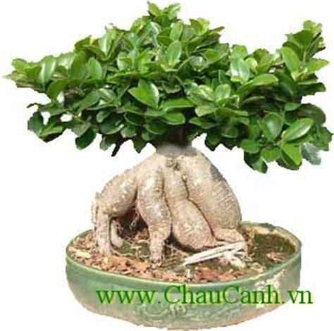 tipi di bonsai da interno c 194 y cảnh bonsai v 192 gi 193 trị nghệ thuật