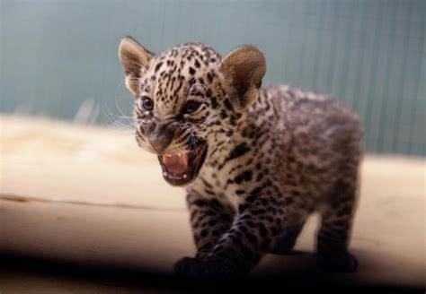 imagenes de jaguar bebe hallan una cr 237 a de jaguar en un paquete enviado a un