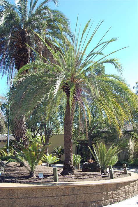 sylvester date palm phoenix sylvestris  lafayette