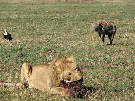 film lion vs hyena giles bowkett jerry springer for programmers only a