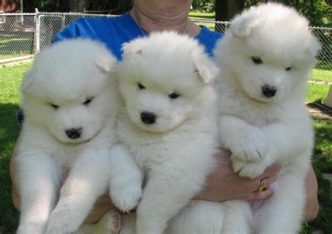 fluffiest breeds the 10 fluffiest breeds on the planet you ll want to hug one right now rover
