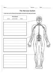 The Nervous System Worksheet by The World S Catalog Of Ideas