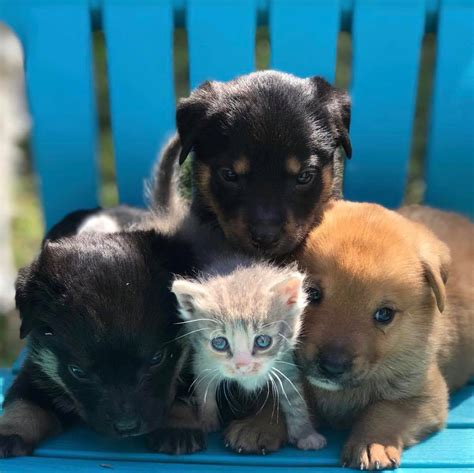 foster puppies maternal rescue welcomes kitten into litter of foster puppies