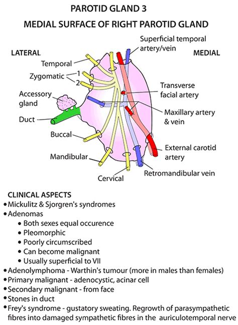 diagram of salivary glands instant anatomy and neck areas organs salivary