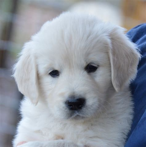 golden retriever puppies tn creekside goldens welcome to creekside