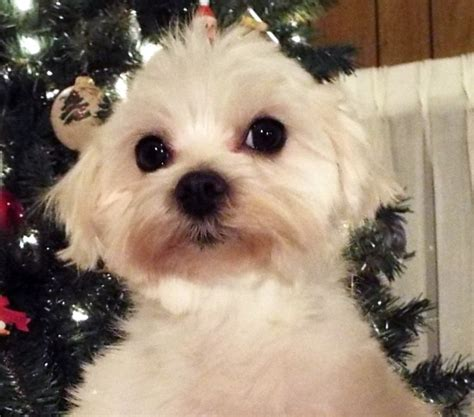 maltipoo puppies rescue maltese rescue available dogs