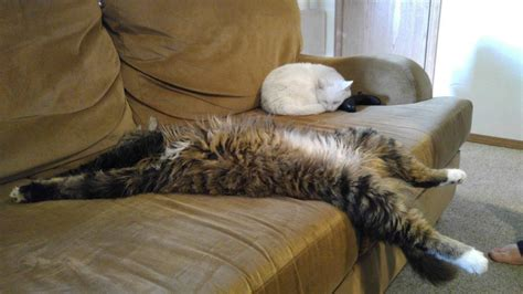 Sleep Cats why do maine coons sleep so much sleeping habits