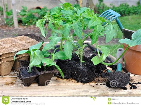 Seedlings Ready To Planting Royalty Free Stock Images Garden Ready Vegetable Plants