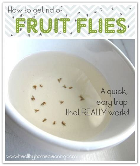 How To Catch Flies In House by Fruit Flies On Fruit Fly Traps Fruit Fly Catcher And Killing Fruit Flies
