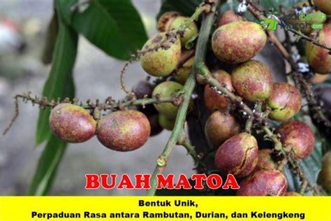 Bibit Buah Matoa buah matoa jualbenihmurah