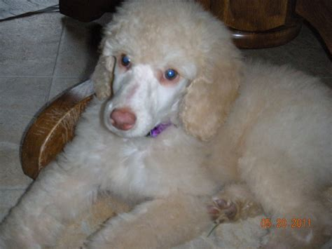 goldendoodle puppies maine maggie will join our program in 2013 akc golden retriever