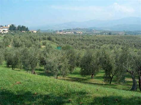 coltivazione olivo in vaso coltivazione olivo fare giardinaggio coltivazione dell