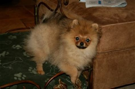 Pomeranian Shedding Cycle stagecoachpomeranians puppy uglies what s that