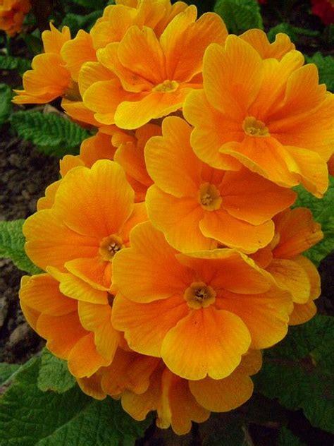 what color is primrose orange primrose these bright orange