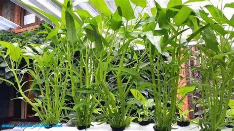 menanam hidroponik rumahan cara menanam tanaman hidroponik kangkung satu jam