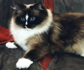 ragdoll colors ragdoll patterns and colors ragdoll cat breeds