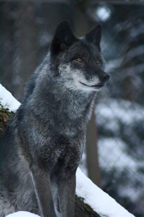 are dogs descended from wolves 135 best images about wolves on wolves a wolf and wolves