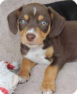 beagle weiner mix doxle beagle x dachshund mix info temperament puppies pictures