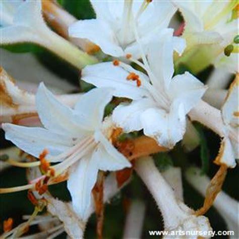 azalea fragrant star  arts nursery
