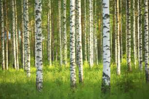 birch forest wall mural photo wallpaper photowall