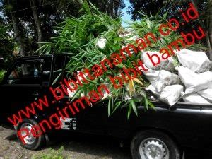 Bibit Bambu Petung pusat bibit pohon bambu petung murah unggul di jawa