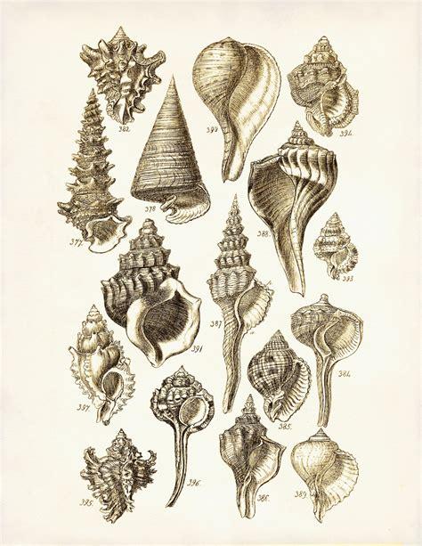 vintage illustration vintage sea shell illustration www pixshark com images