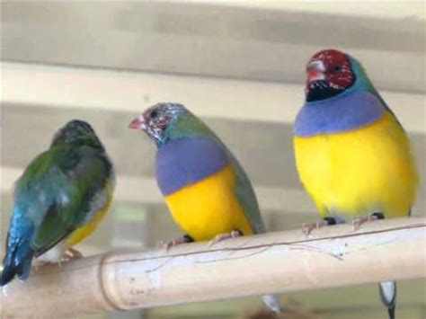 lady gouldian finches moulting 1 youtube
