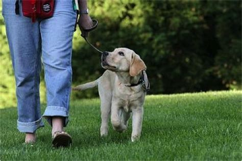 how to your to walk on the lead get your walking on a lead joyful dogs