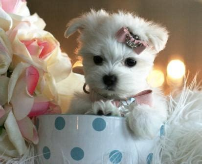 teacup puppy price teacup puppy for sale in