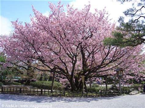 il giardino dei ciliegi testo quot il silenzio degli angeli quot gt quot il profumo dei ciliegi quot