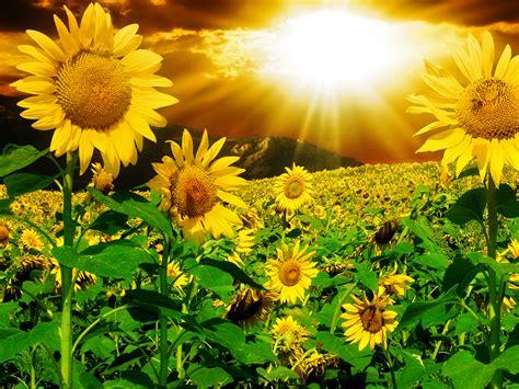 sun flower free stock photos