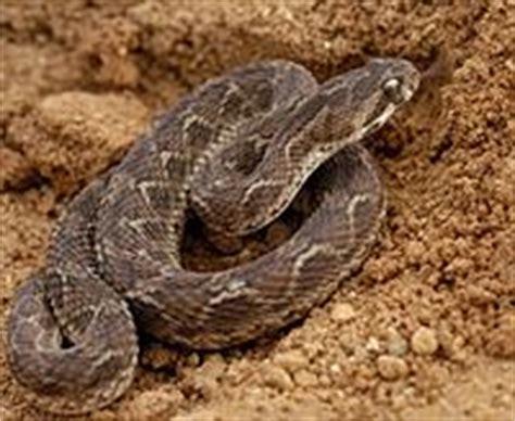 Gergaji Viper ular bahasa indonesia ensiklopedia bebas