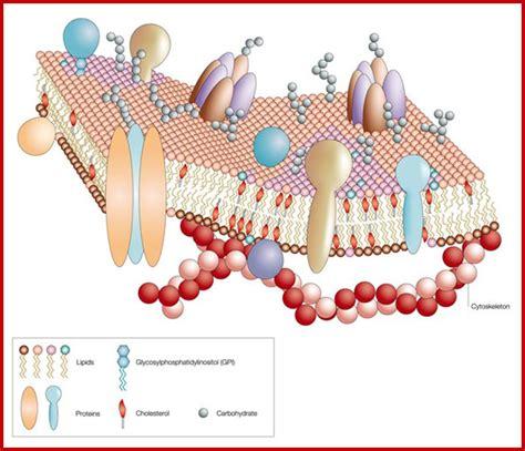 plant cell membrane