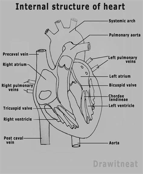 diagram of mammalian diagram of the longitudinal section of the mammalian