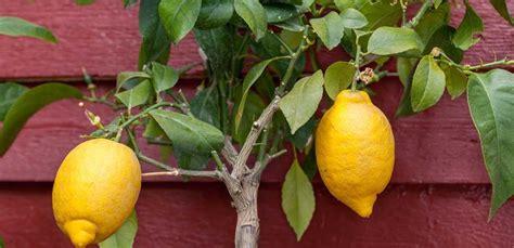 come curare i limoni in vaso limoni in vaso come curarli tutti i segreti leitv