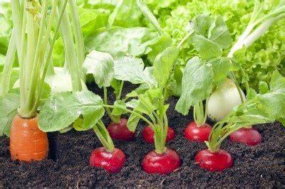 Wann Tomaten Säen 5395 radish companion planting learn about plants that grow