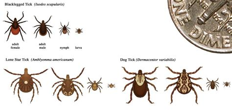 how to take a tick a how to remove a tick a proper method for and pets tag