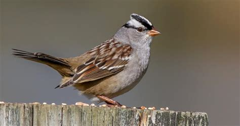 white crowned sparrow identification all about birds