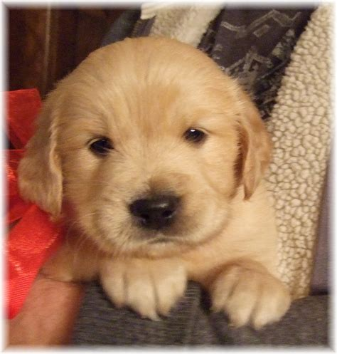 golden retriever puppies in alabama golden retriever puppies for adoption in alabama dogs in our photo