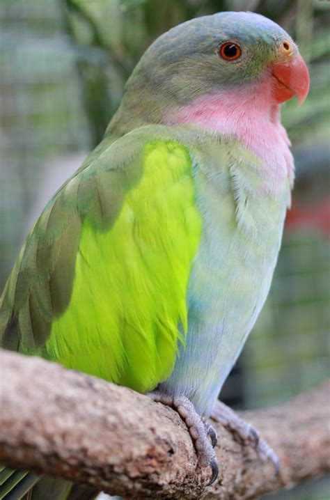 princess parrot facts care as pets personality pictures