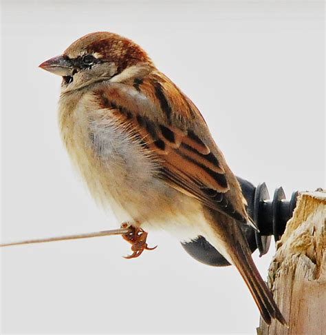 best 28 average lifespan of a sparrow animal sparrow