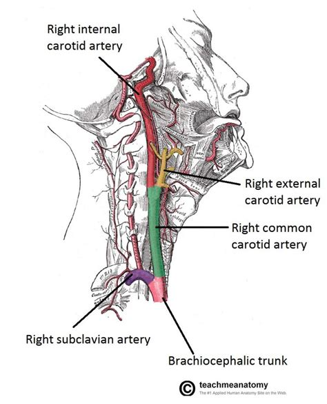diagram of carotid artery major arteries of the and neck carotid teachmeanatomy