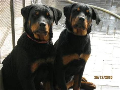 tough boy names for rottweilers my rott boy rottie gal a of rottweilers