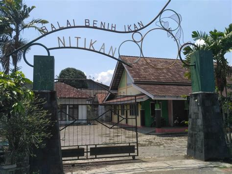 Jual Bibit Cendana Yogyakarta pengembangan bpih nitikan jalan di tempat cendana news