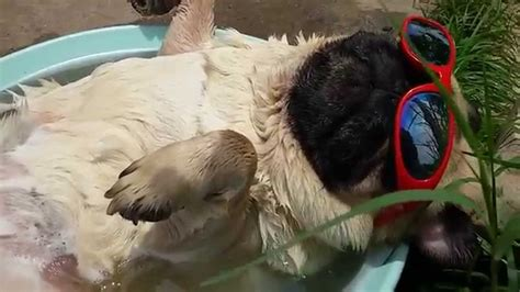 pug summer summer snoozing pug snores and