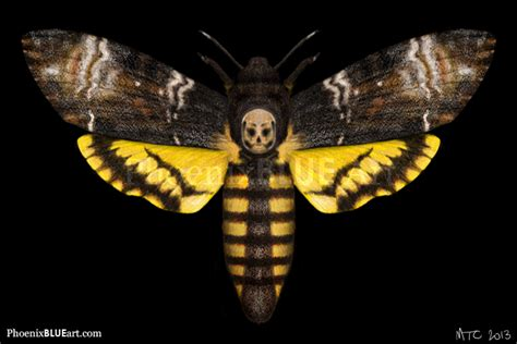 deaths head hawk moth  marycapaldi  deviantart