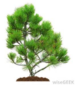 types of trees types of pine trees species pictures to pin on pinterest