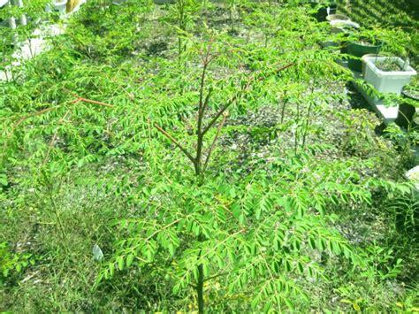 Teh Moringa moringa oleifera