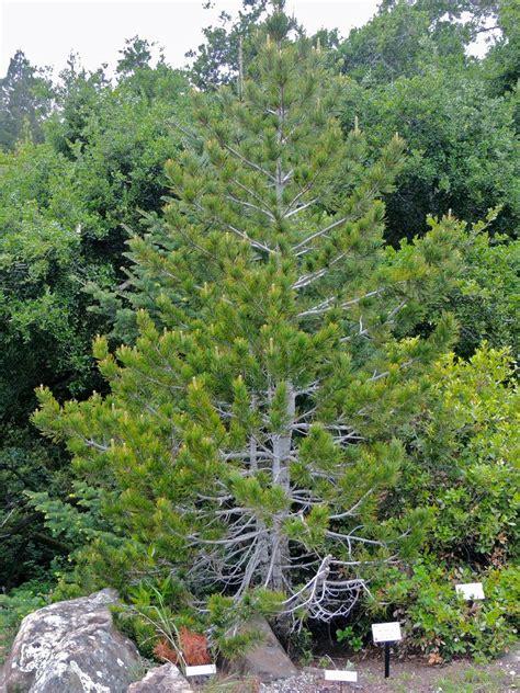 Botanical Gardens Northern California Plantfiles Pictures Whitebark Pine Pinus Albicaulis By Palmbob