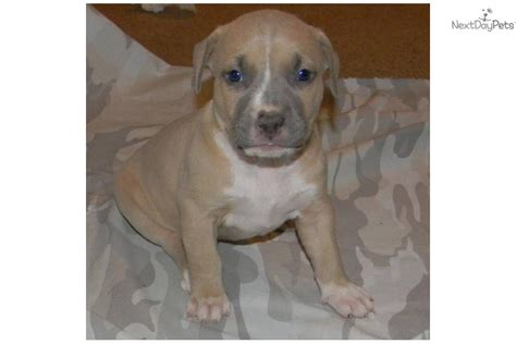 pitbull puppies for sale in wv american pit bull terrier for sale for 600 near eastern panhandle west virginia
